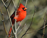 Cardinal perched on a limb sunning Royalty Free Stock Images