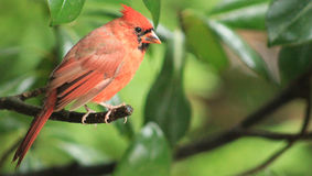Cardinal-Perched. Male Cardinal perched on a branch in a Magnolia tree stock photo