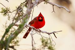Cardinal perched on a tree. Branch royalty free stock photo