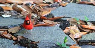 1 Cardinal-Piedra-izquierdo Foto de archivo libre de regalías