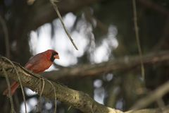 Cardinal in pine tree Royalty Free Stock Photo