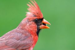Cardinal portrait. Close-up portrait of a Cardinal with green background stock photo