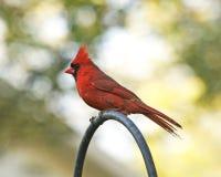Cardinal profile Royalty Free Stock Photos