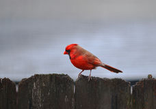 Cardinal in Rain Royalty Free Stock Images