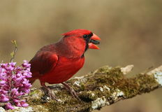 Cardinal and Red-bud Blooms. A beautiful male cardinal sits on the branch of a redbud tree with pink blossoms, with a sunflower seed in his beak, on a blurred royalty free stock photo