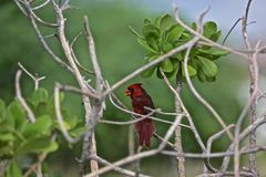 Cardinal red Northern Bird Royalty Free Stock Images