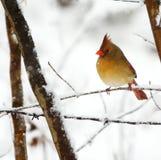 Cardinal resting Stock Image