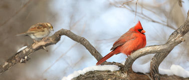 Cardinal resting. Red cardinal resting in forest Royalty Free Stock Photography