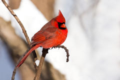 Cardinal rests in snow covered forest. Vibrant scarlet colored cardinal stands out in in snow covered woodland. red bird is perched on a branch while a stock photography