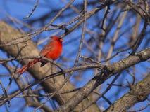 Cardinal rouge Photos stock