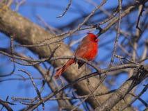 Cardinal rouge Photo libre de droits