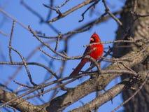 Cardinal rouge Photographie stock libre de droits