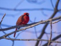 Cardinal rouge Image stock