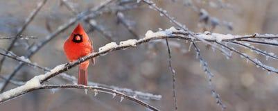 Cardinal rouge photo stock