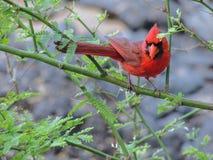 Cardinal rouge dans le macro de plan rapproché d'arbre en île de Maui, Hawaï, Etats-Unis image libre de droits