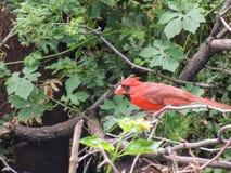 Cardinal rouge dans le macro de plan rapproché d'arbre en île de Maui, Hawaï, Etats-Unis images stock