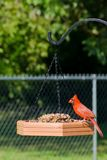 Cardinal rouge du nord photographie stock