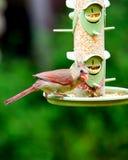 Cardinal rouge féminin Images stock