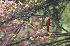 Cardinal rouge s'asseyant dans un arbre de cornouiller photographie stock