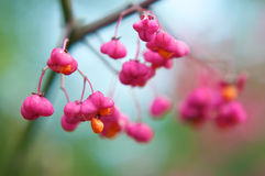 Cardinal's Hat. The fruit of the Euonymus in fall/winter time Stock Photos