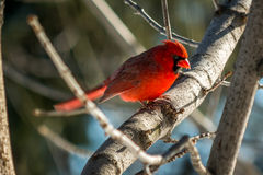 Cardinal. Seen near Cleveland, Ohio in the winter royalty free stock images