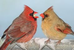 Cardinal sharing. A male cardinal is offering a female cardinal his food Stock Image