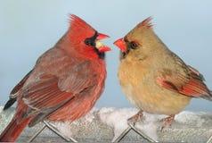 Cardinal sharing Stock Image