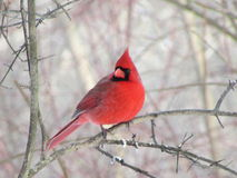 Cardinal sitting on branch in winter. Royalty Free Stock Photo