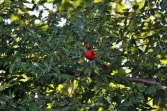Cardinal on tree branch. Cardinal sitting on tree branch royalty free stock image