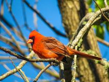 Cardinal sitting on a tree branch royalty free stock photos