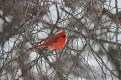 Cardinal sitting in winter storm in a tree. Cardinal sitting alone in a tree during a winter storm with snow falling only one bird Stock Photos