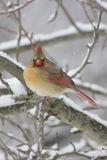 Cardinal In Snow Royalty Free Stock Photos