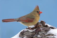 Cardinal In Snow Royalty Free Stock Photos