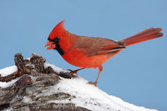 Cardinal In Snow Royalty Free Stock Image