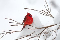 Cardinal In Snow. A red cardinal perched alone in the snow Stock Photo