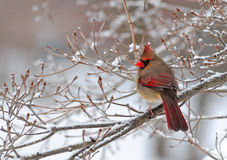 Cardinal In Snow. A female cardinal perched alone in the snow Stock Photos