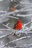 Cardinal Snow 2. Male Northern Cardinal on branch in snow Royalty Free Stock Photo