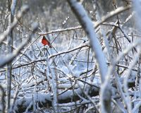 Cardinal in the snow. A male cardinal in the snow covered forest Royalty Free Stock Image