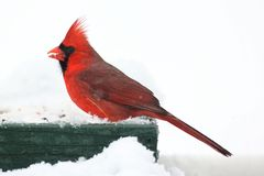 Cardinal In Snow Stock Photo