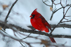 Cardinal and snow. A snowy day and cardinal waiting to his turn to feed royalty free stock images