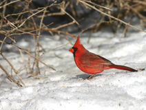 Cardinal on snow. An early morning shot of a brilliant red cardinal on snow covered ground royalty free stock photos