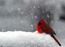 Cardinal in Snow. A background with a view of a red cardinal sitting alone in the snow