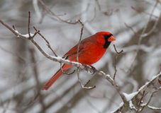 Red Cardinal bird in winter. Side view of red cardinal bird resting in branches of snow covered tree Royalty Free Stock Image