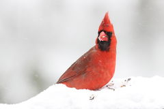 Cardinal in Winter Snow. A bright red male Northern Cardinal (Cardinalis cardinalis) eating seeds in a winter snow storm Stock Photography