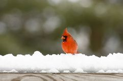 Cardinal on snow covered rail Royalty Free Stock Photography