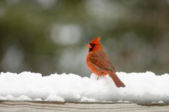 Cardinal on snow covered rail stock photo