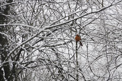 Cardinal in Snow Covered Trees Stock Image