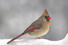 Cardinal in the Snow. A female Northern Cardinal (Cardinalis cardinalis) on a snowy day in winter Stock Image