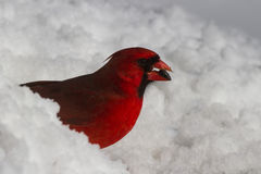 Cardinal in the Snow Stock Photography
