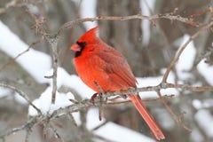 Cardinal In Snow Stock Photos